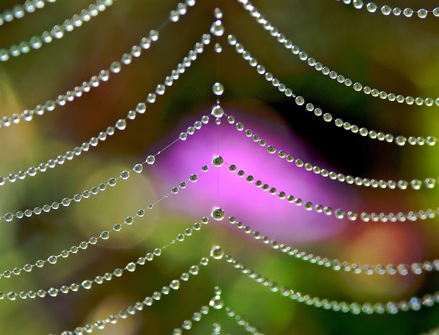 Crystal Beeds by Larry Laird - Nature Up Close Hives & Nests ( raystown, dawn, spiderweb, dew, spider, web, crystal )