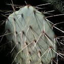 Prickly-pear Cactus