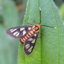 Day-flying Moth