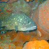 White Spotted Grouper