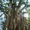 Curtain Fig Tree - Strangler Fig