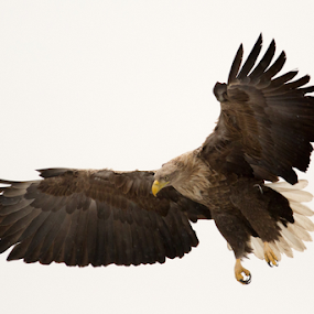 The Eagle is landing by Marsilio Casale - Animals Birds ( bird, flight, eagle, nature, wings,  )