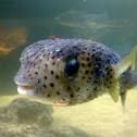 Porcupine Fish / Blow Fish