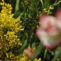 Sweet Broom Plant