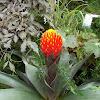 Guzmania bromeliad