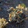 Gold-eye lichen