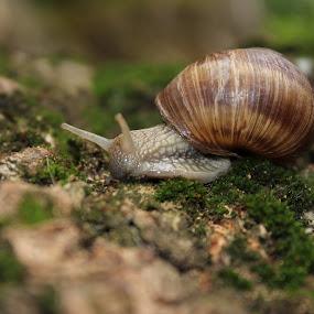 lone snail by Daniel MV - Animals Other (  )