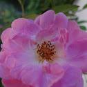 Mini rosa (Mini roses)