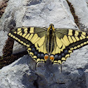 Common Yellow Swallowtail [Old World Swallowtail]