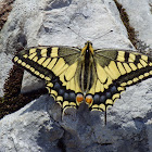 Common Yellow Swallowtail [Old World Swallowtail]