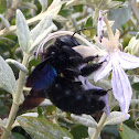 Abejorro carpintero, violet carpenter bee