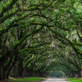 Oak Avenue, Wormsloe Historic Site, Savannah, GA by Jennifer Tsang - Landscapes Forests ( wormsloe, savannah, wormsloe historic site, tree, nature, oak, georgia, oak avenue, spanish moss, path, landscape )