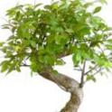 Bonsai Tree Slideshow LWP logo