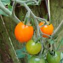 Cherry Tomato 'Sun Drop'