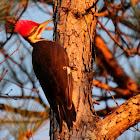Southern pileated woodpecker