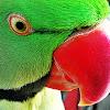 Rose-ringed Parakeet (Indian Ringneck)