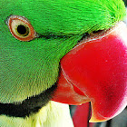 Rose-ringed Parakeet (Indian Ringneck)
