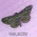(Looper) Moth