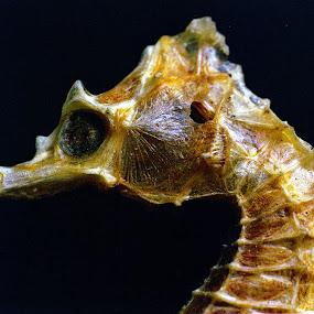 Seahorse Head by Raymond Paul - Animals Sea Creatures ( shell, oceanlife, seahorse )