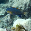 Blackfin Chromis