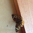 Buckeye Moth