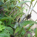 Yellow Garden Spider (Female)