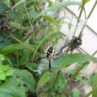 Yellow Garden Spider (Female)