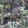 Harris's Antelope Ground Squirrel'