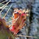 Nopal (Prickly Pear)