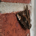 Little Underwing Moth