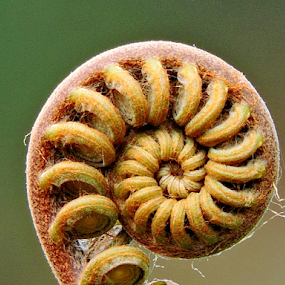 Fern shoot by Yusop Sulaiman - Nature Up Close Other plants (  )