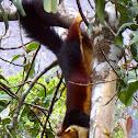 Malabar Giant Squirrel