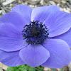 Poppy Anenome