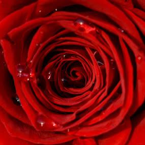 8. March by Metka Majcen - Flowers Single Flower (  )