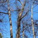 Gumball tree