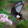 Common Mormon (Female)