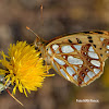 Queen Fritillary-Nymphalidae