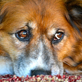 Ginger Lilly by Kathleen Koehlmoos - Novices Only Pets ( ginger colored dogs, pretty dogs, big brown eyes, beautiful old dogs, pretty doggies, sweetest dog ever, beautiful dogs, ginger lilly,  )