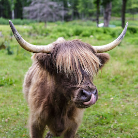 Rocco The Bull by Flavio Mini - Animals Other Mammals ( farm, horn, bull, mammal, animal,  )