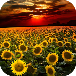 Sunflower Live Wallpaper Android Apps on Google Play