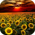 Sunflower Live Wallpaper icon