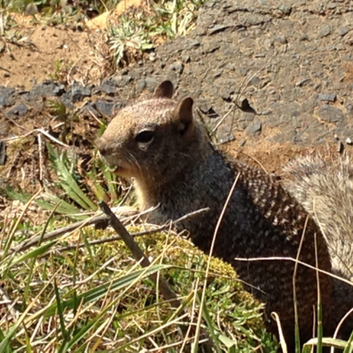 California Ground Squirrel