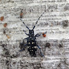 Asian long-horned beetle