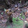 Bang's Mountain Squirrel