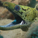 Fimbriated Moray Eel