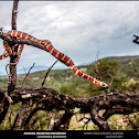 Arizona Mountain Kingsnake