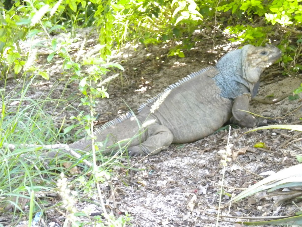 Mona ground iguana