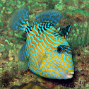 Blue Triggerfish (juvenile)