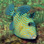 Blue Triggerfish (juvenile)