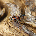Long-necked ground beetle